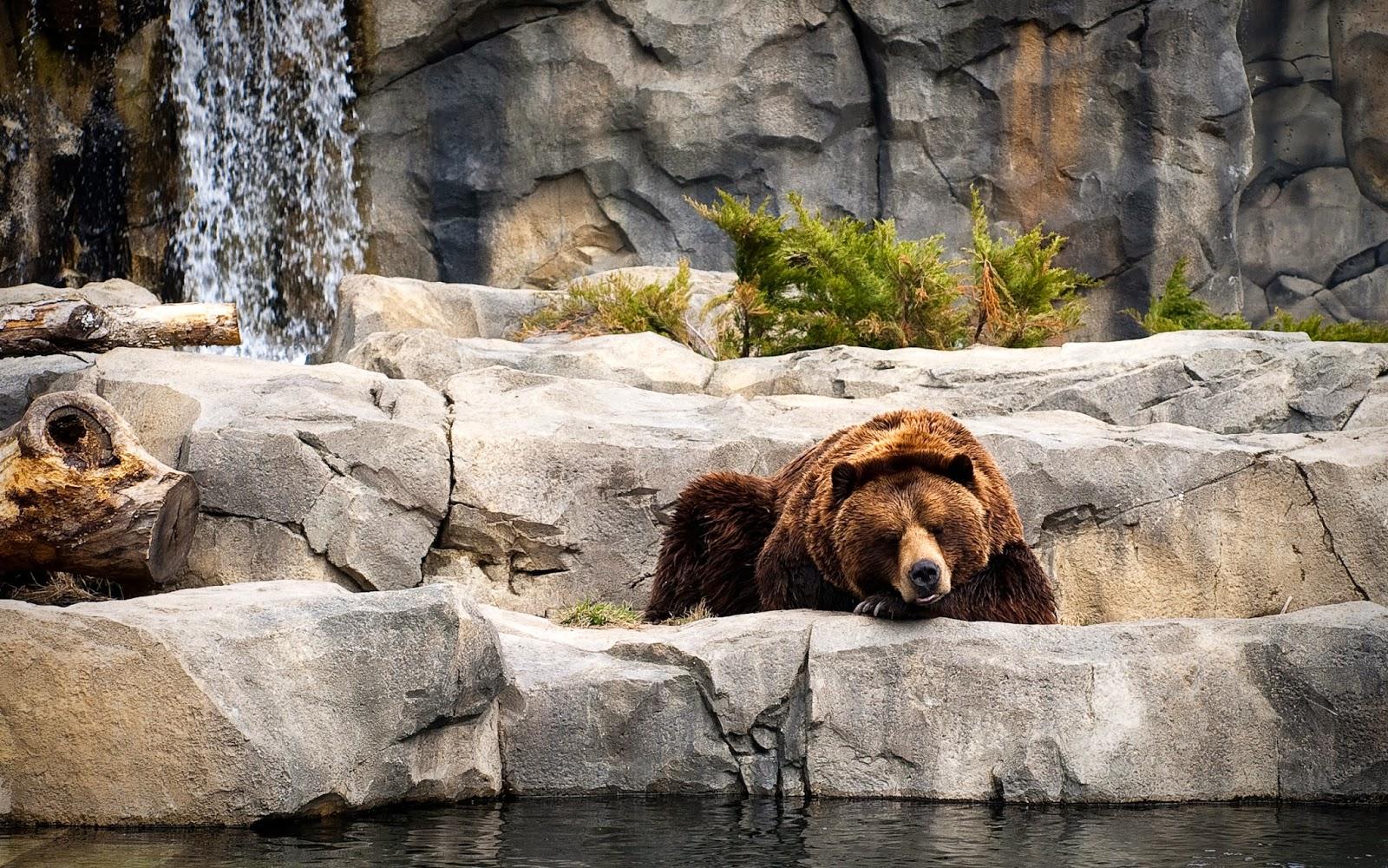 Wallpaper met een bruine beer in een dierentuin