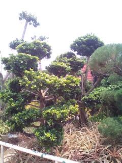 Tukang taman jual bonsai beringin korea
