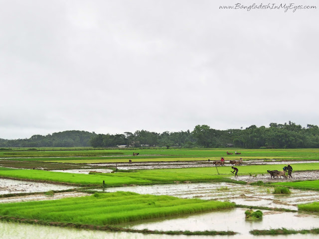 cultivating paddy