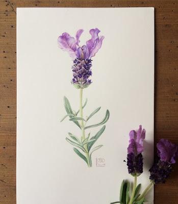 Spanish Lavender, Lavandula stoechas, watercolou painting on Fabriano Artistico paper