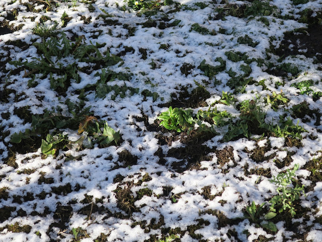 Row of plants in snow. (Some kind of willow herb?)