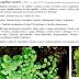 Adiantum capillus-veneris L