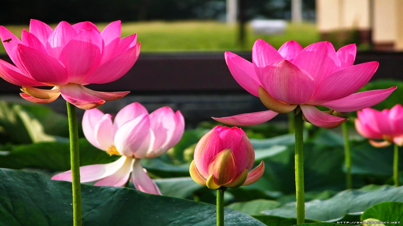 Indoor Gardening About Lotus And Its Care