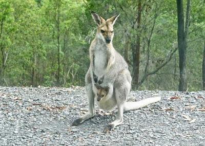 Kangaroos typically Australian animals picture