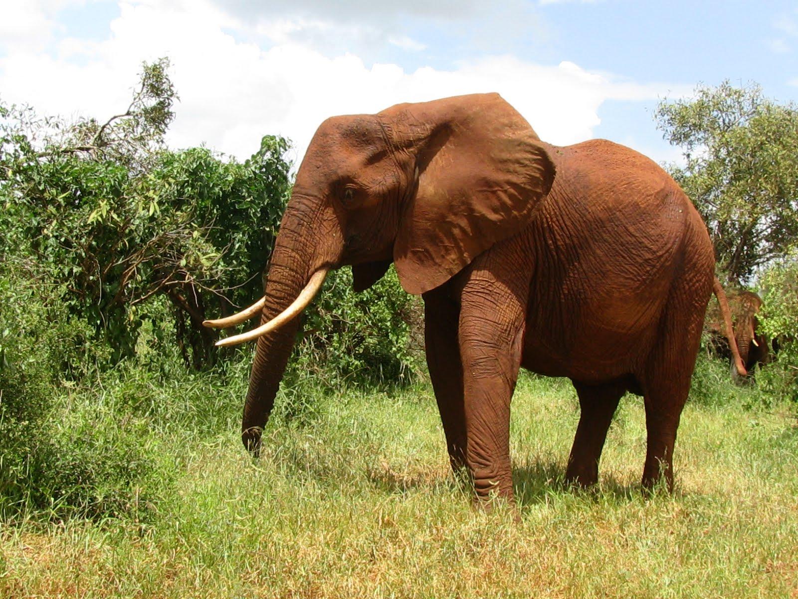 beautiful african animals safaris beautiful african red majestic elephants. Black Bedroom Furniture Sets. Home Design Ideas