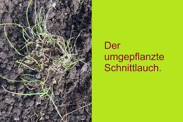 Schnittlauch frisch umgepflanzt