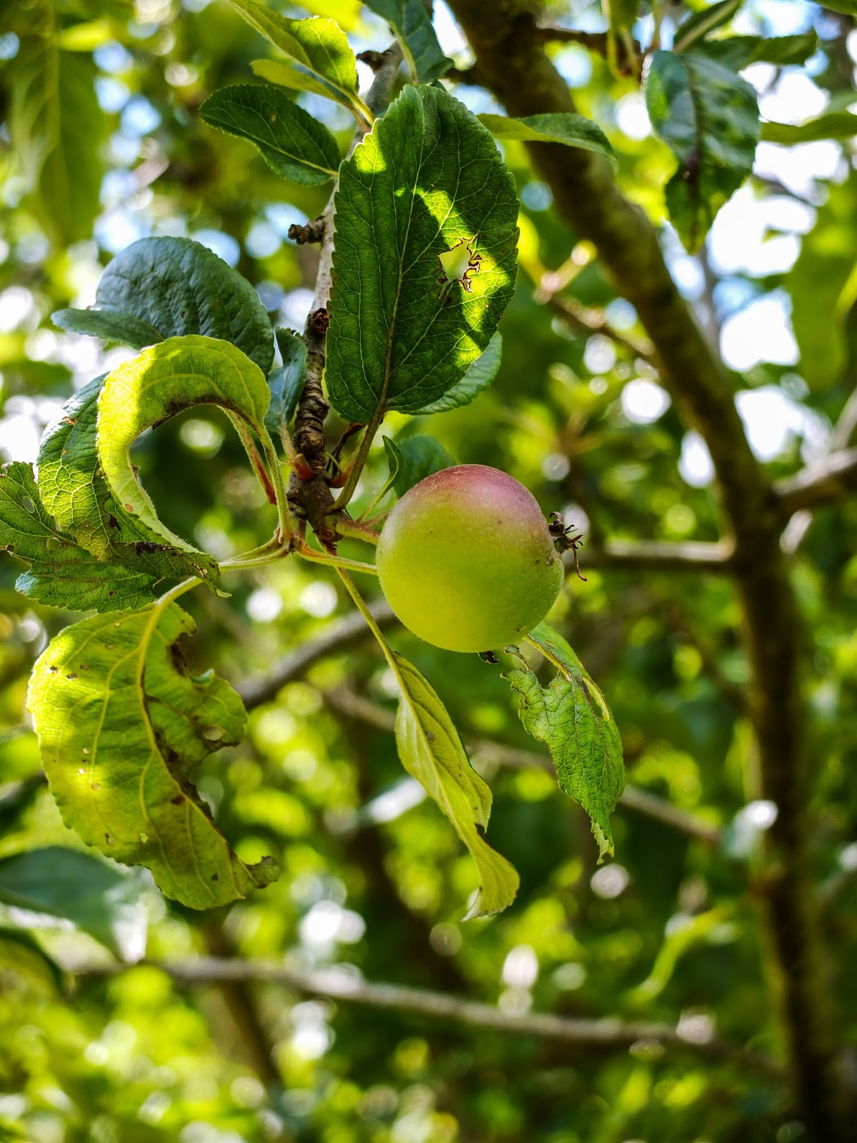 An apple growing on a tree.