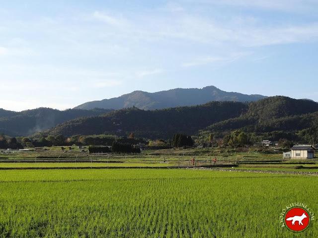 Champ de riz au Japon à Kyoto