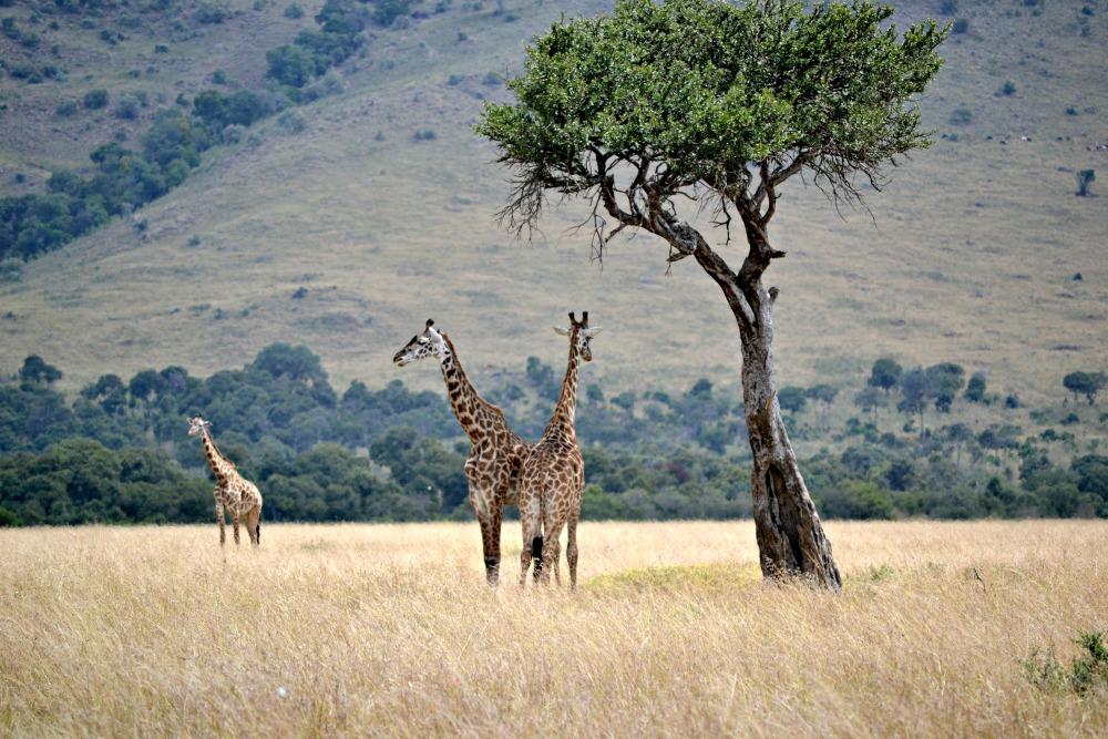 giraffes in kenya masa mara national park