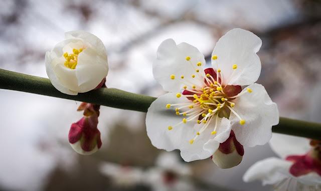 Ban Flowers Festival 2018 In Dien Bien Province