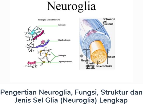 Neuroglia : Pengertian Beserta Fungsi, Struktur Dan Jenis Sel Glia (Neuroglia) Lengkap