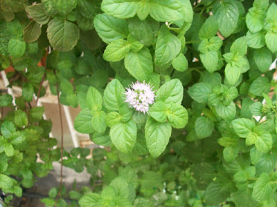 Mentha aquatica, ginger mint