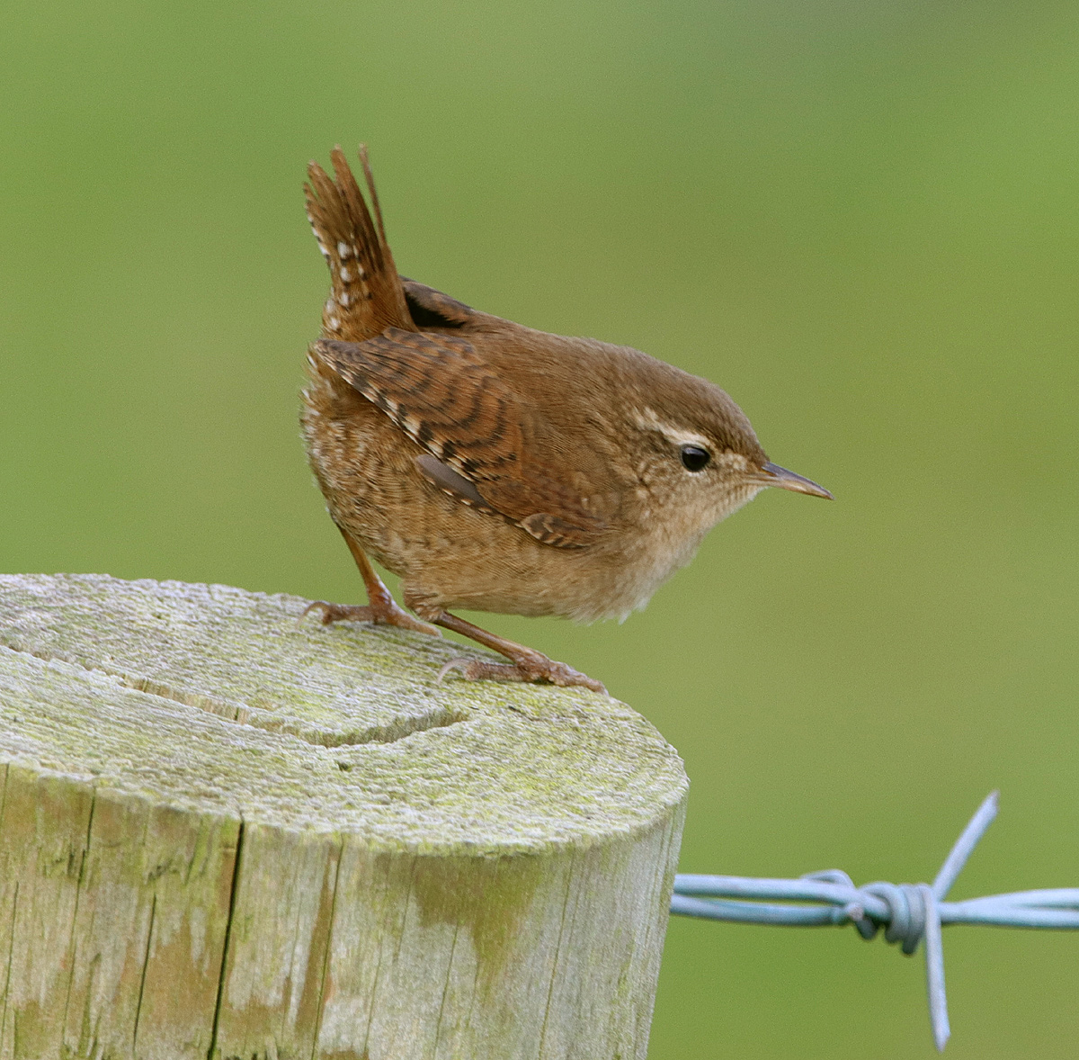 wrens latin singles If you come across a noisy, hyperactive little bird with bold white eyebrows, flicking its long tail as it hops from branch to branch, you may have spotted a bewick's wren.