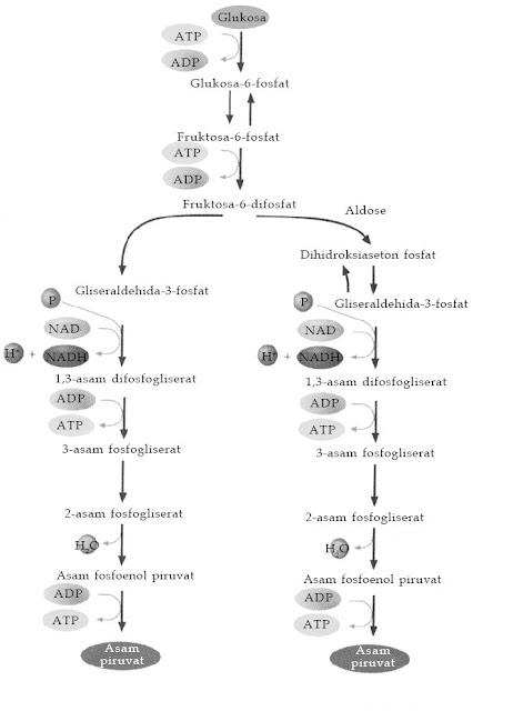 Proses Metabolisme Karbohidrat (Gikogenesis, Glikolisis, dan Daur Krebs)