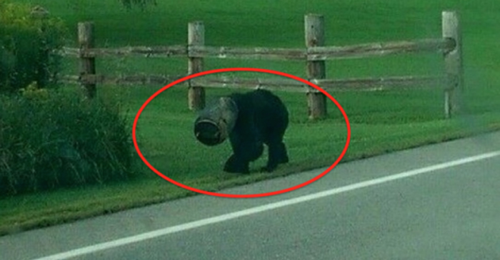 Bear Rescued after Head Stuck In Bucket