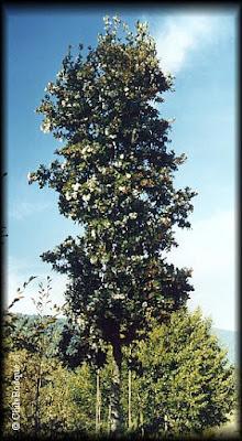 patagonian trees