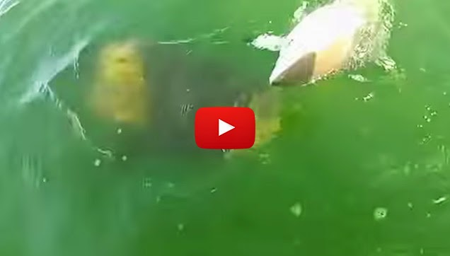 Goliath Grouper Eats Shark Jepinize: A Goliath Gr...