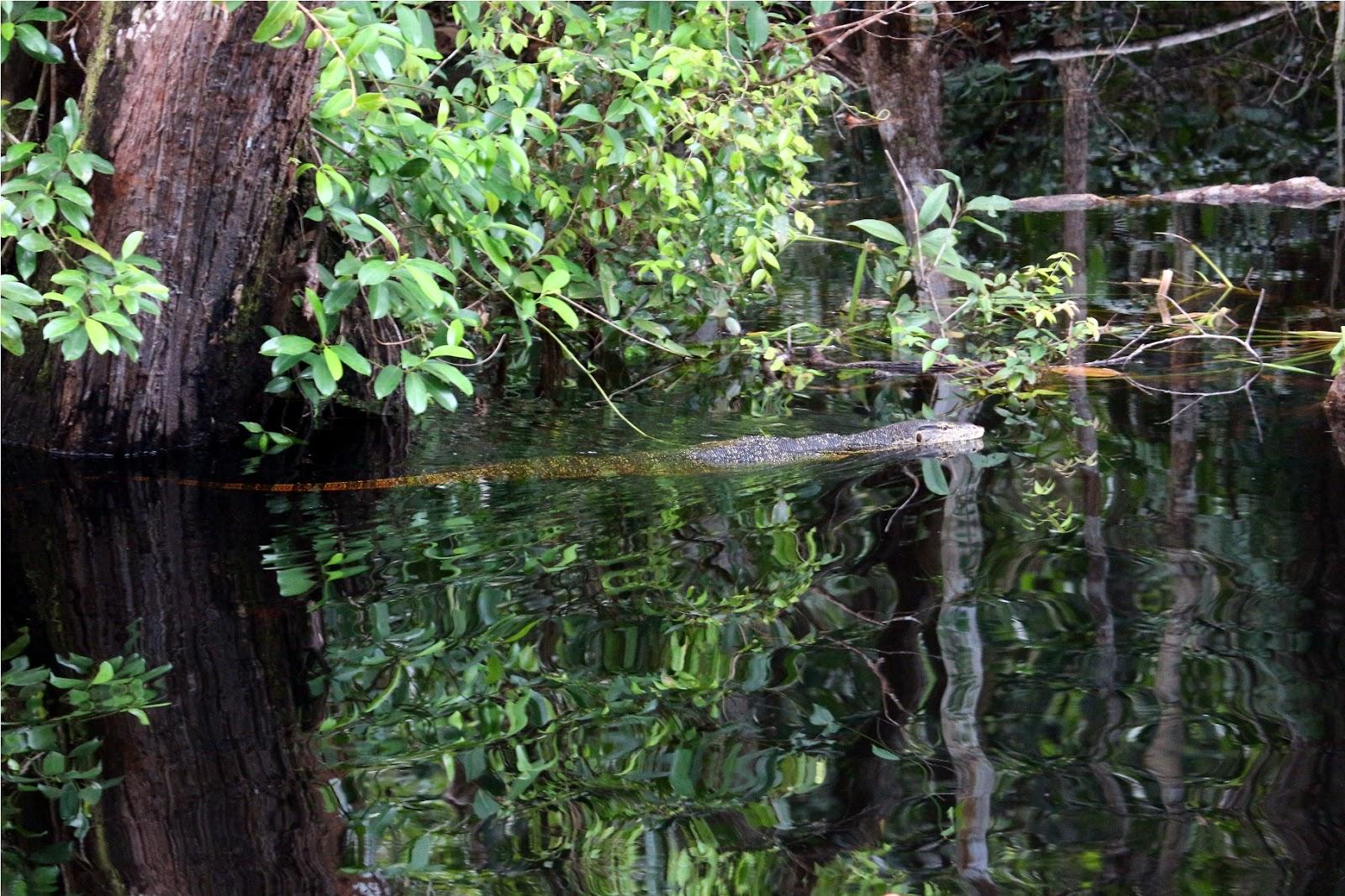 Seekor biawak mengendap-endap mengincar ikan-ikan di antara bakau