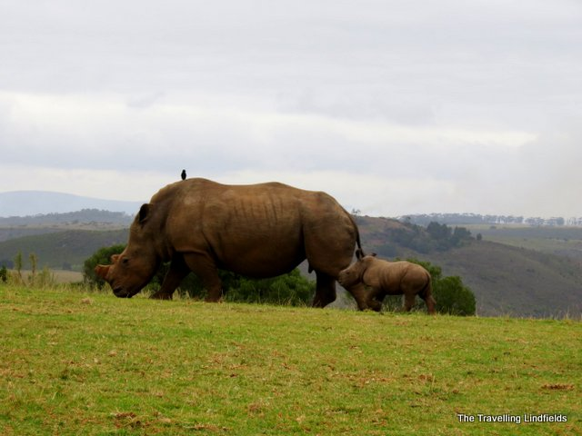 Mother and baby rhinoceros