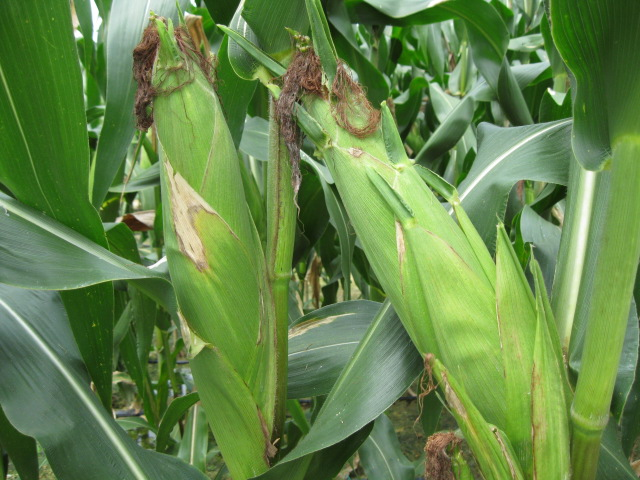 Anim Agriculture Technology: CORN TRIAL SEED PLOT