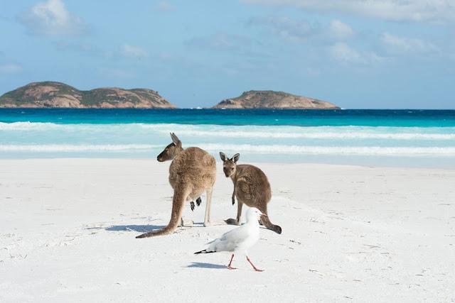 Кенгуру наслаждается чистым белым песком пляжа Лаки Бэй, Эсперанс, Австралия