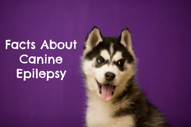 Facts About Canine Epilepsy On Purple Day Pawsitively Pets