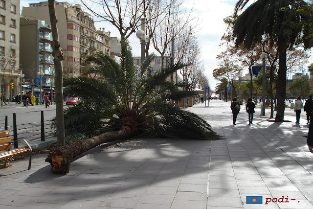 23 de gener de 2009 - ciclogènesi explosiva - efectes al passeig de Joan de Borbó sobre els arbres