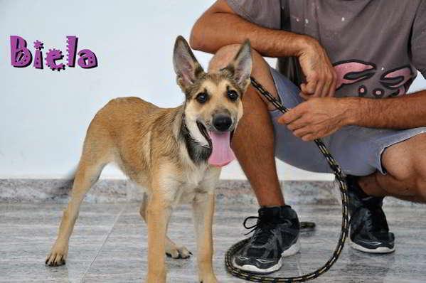 cachorros cruce pastor alemán 4