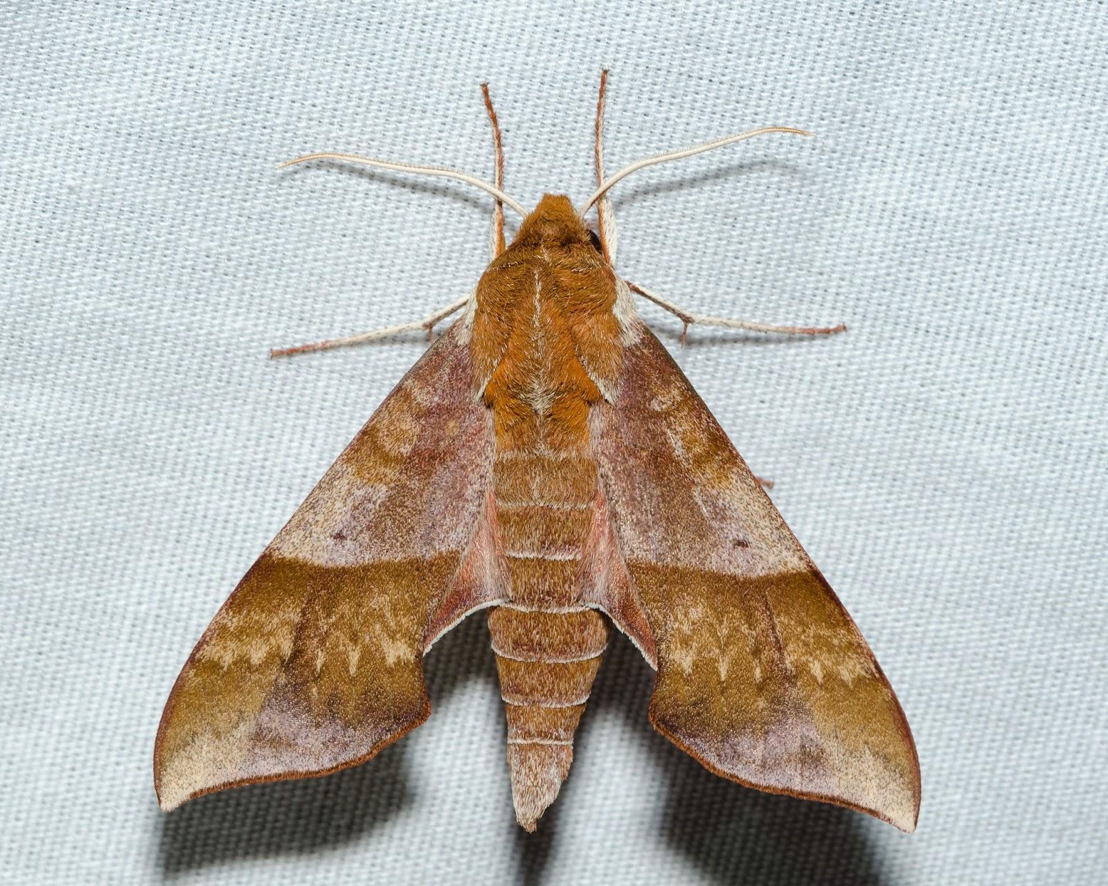 Azalea Sphinx (Darapsa choerilus)