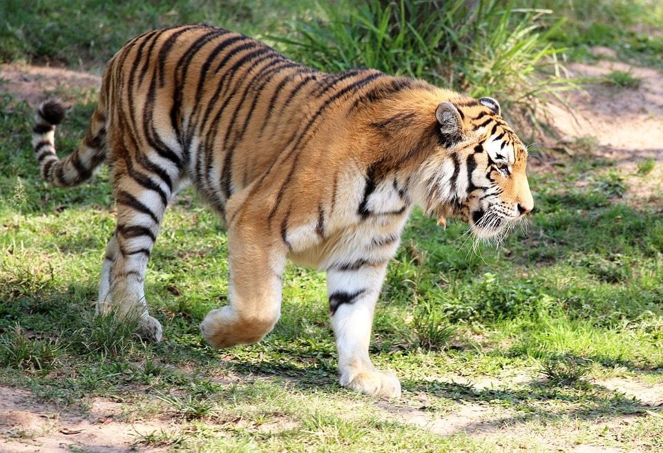 Perbedaan Macan, harimau, dan Singa