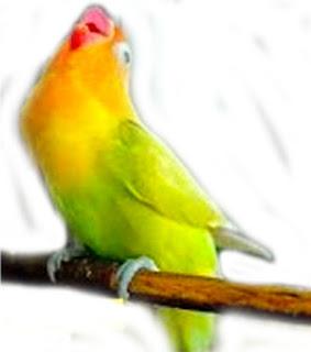 lovebird suara keras, lovebird lantang, lovebird suara lantang