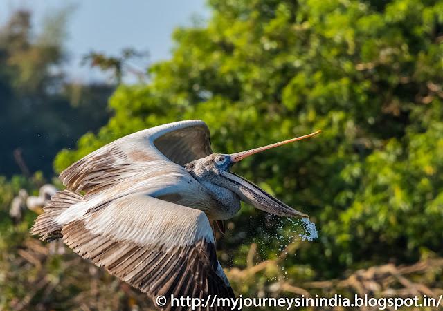 Ranganathittu Birds Pelicon