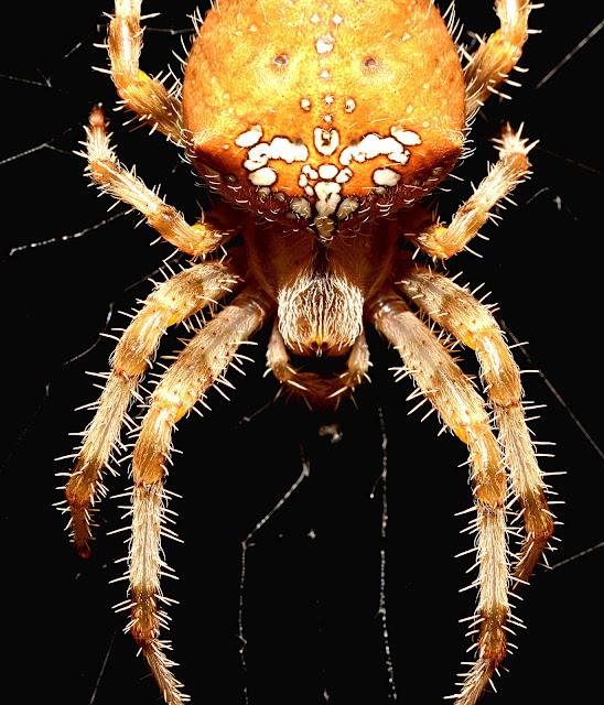 Araneus pallidus