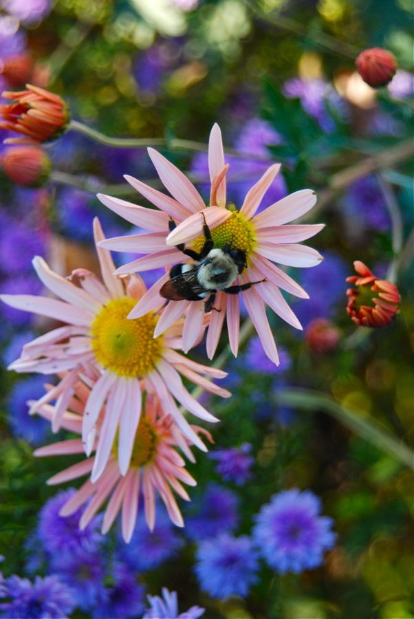A bee enjoying Dendranthema 'Sheffield Pink' and double purple Aster hybrida 'Peter III'.