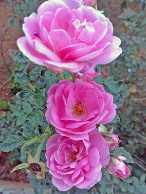 3 pink rose flowers