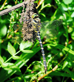 Golden-ringed Dragonfly female