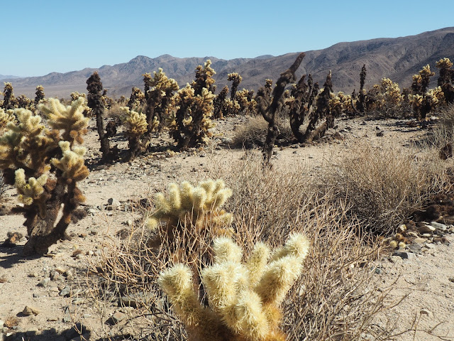 Cacti in Joshua Tree National Park, California