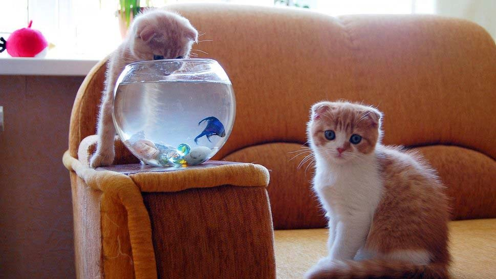 ikan-anak kucing-wallpaper