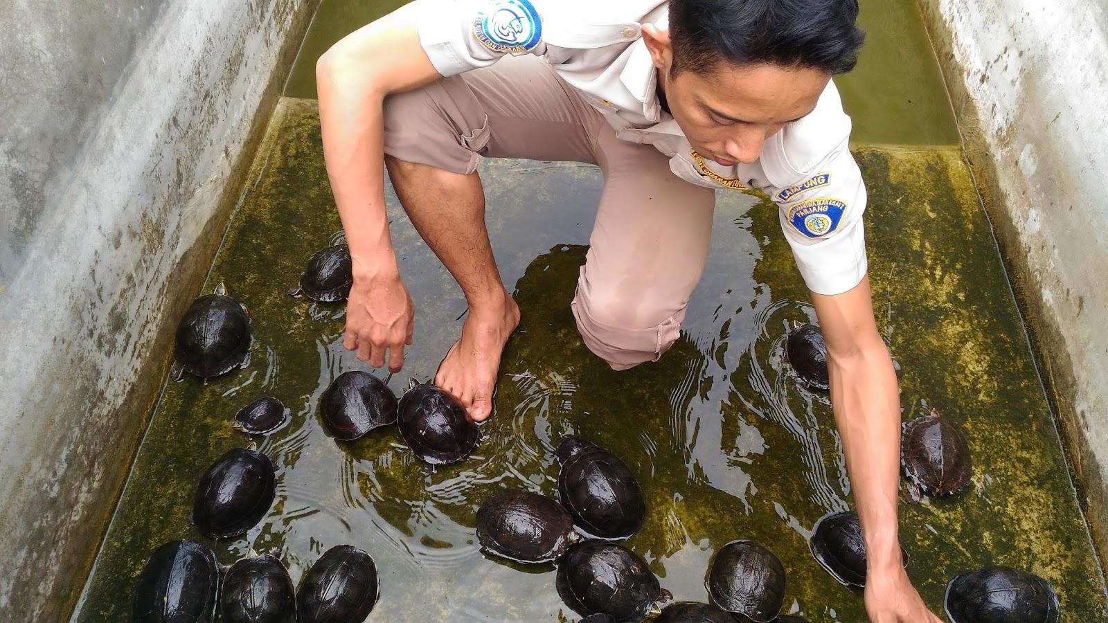 Si Dan Karantina Ikan Lampung Amankan Kura Tanpa Dokumen Surat Balai Untuk Tanaman Hewan Kua Yang Diamankan
