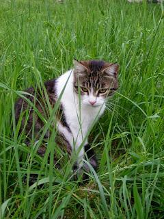 pisica se relaxeaza in iarba