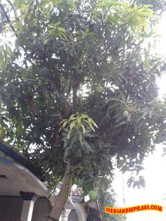menanam pohon mangga