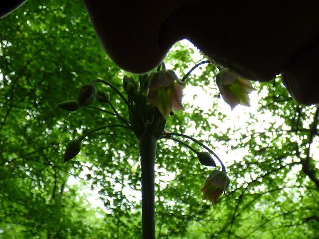 Plante cu miros puternic flori salbatice cu flori mov verzi muntii macinului romania