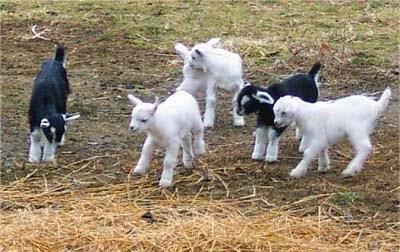 Benefits of Goat Farming | Modern & Mixed Farming System