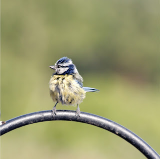page from flying on Little Wings by Corina Duyn with photograph of young bluetit
