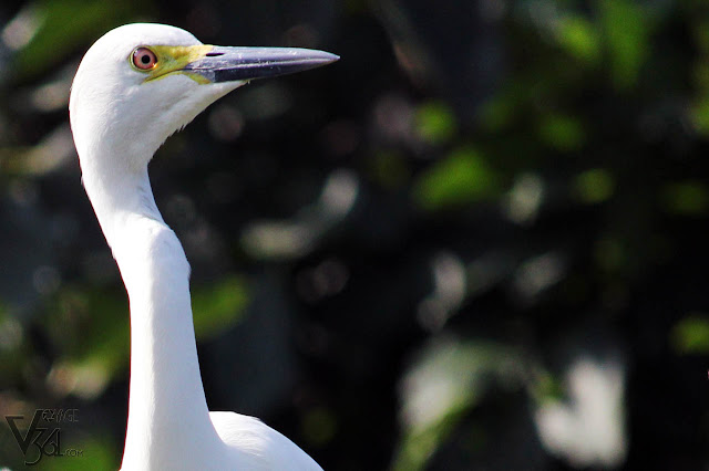 Great Egret in Ranganathittu