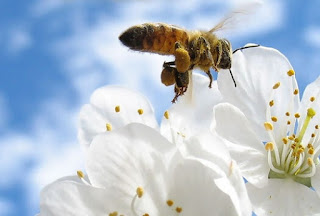 Η γύρη μελισσών τα απίστευτα οφέλη υγείας που έχεις από την κατανάλωση της!
