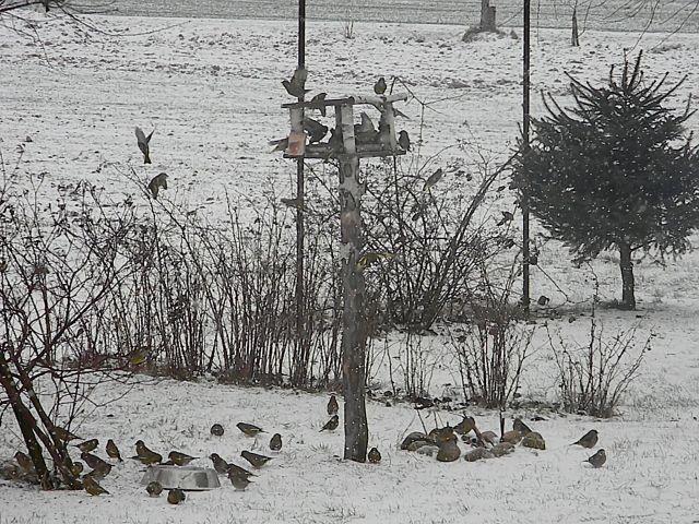 ptaki, dokarmianie, zima, śnieg