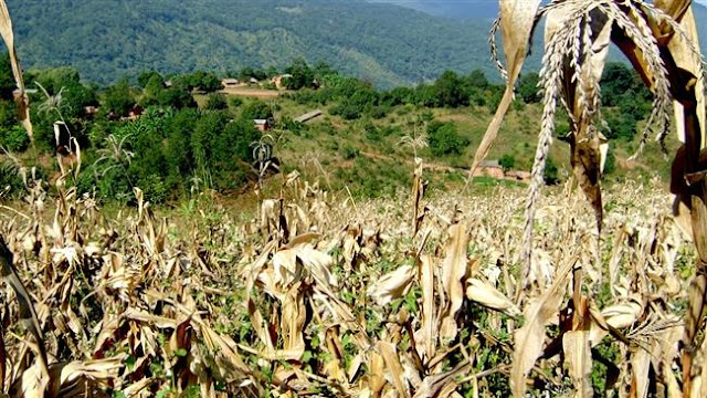 Malawi declares 20 districts disaster areas over armyworms