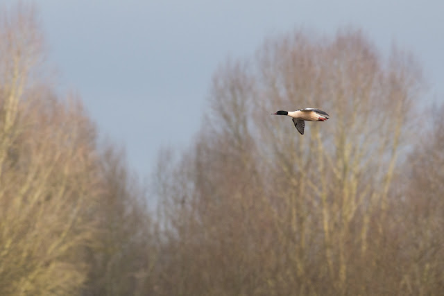 Male Goosander flying in.