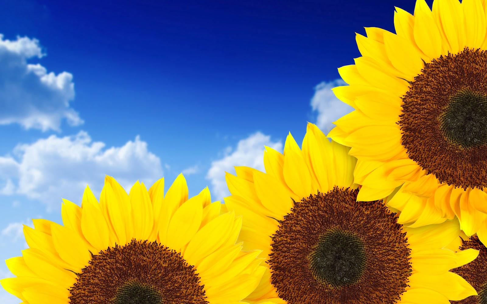 Zonnebloemen Achtergronden   HD Wallpapers